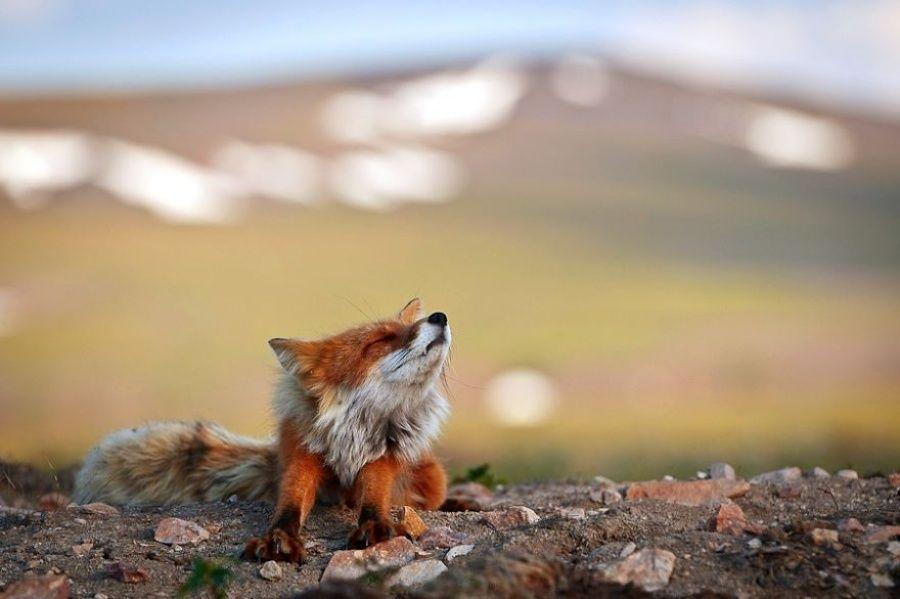 Горный инженер с Чукотки фотографирует лис | Foxes