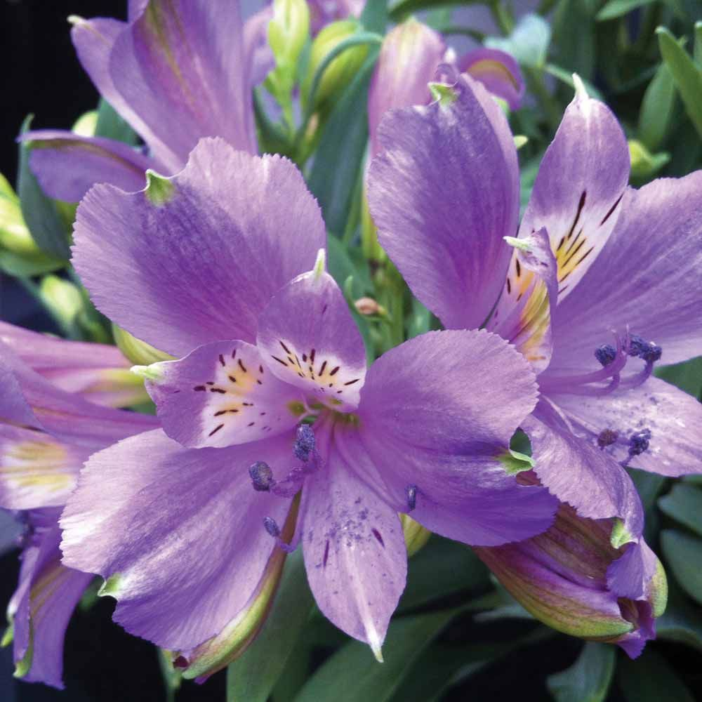 Alstroemeria inca lakeperuvian lily gardening pinterest alstroemeria inca lake flowers for cutting plants van meuwen izmirmasajfo