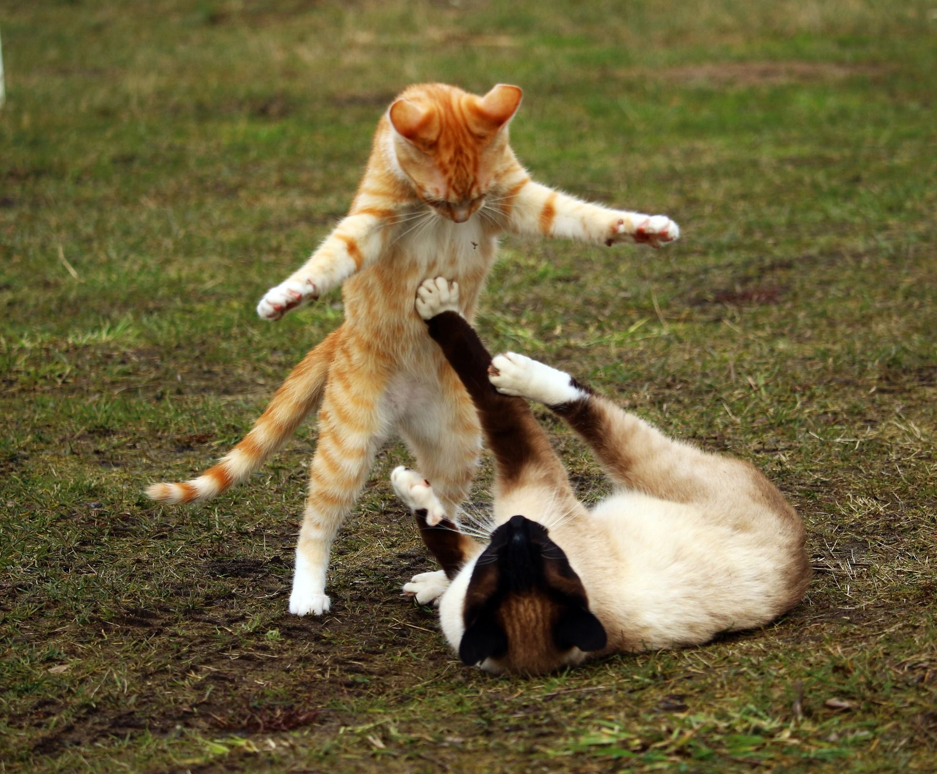I M Wondering How To Stop My Cats From Fighting Each Other Healthcare For Pets Tabby Kitten Cat Playing Funny Cats