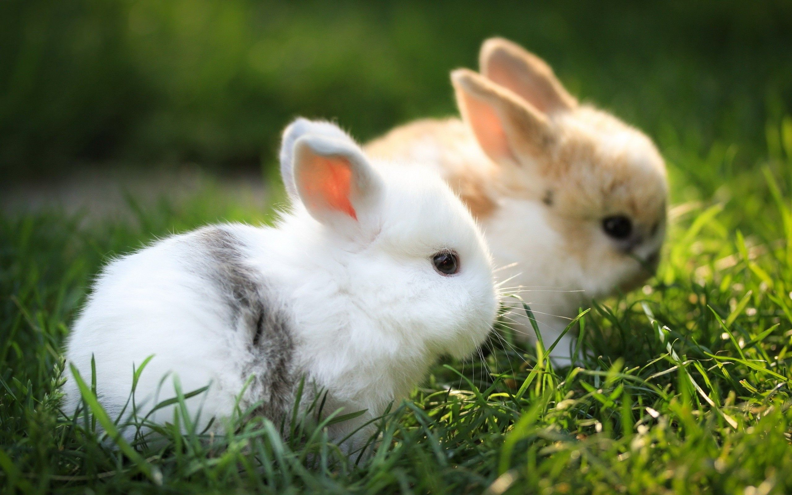 Lovely Baby Bunny Animal Wallpaper HD Wallpaper Animal