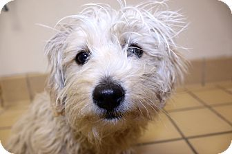 Lumberton Nc Poodle Miniature Maltese Mix Meet Joan A Puppy