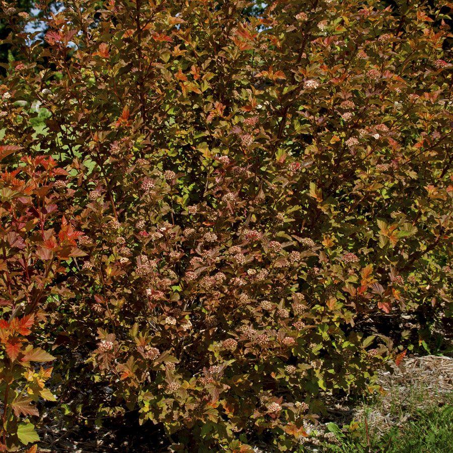 amber jubilee ninebark physocarpus opulifolius amber. Black Bedroom Furniture Sets. Home Design Ideas