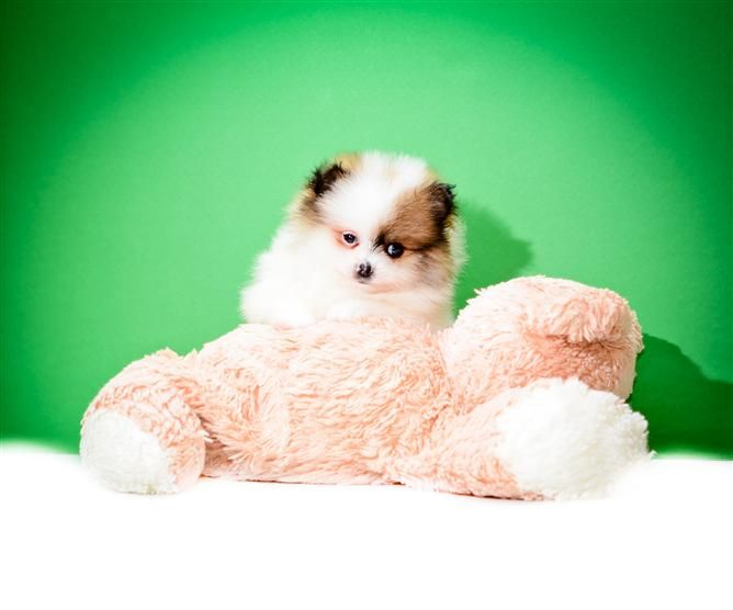 Buy Our Pomeranian Puppy For Sale Near Dayton Ohio Rocky Loves To Workout At The Gym With All His Friend With Images Pomeranian Puppy Pomeranian Puppy For Sale Puppies