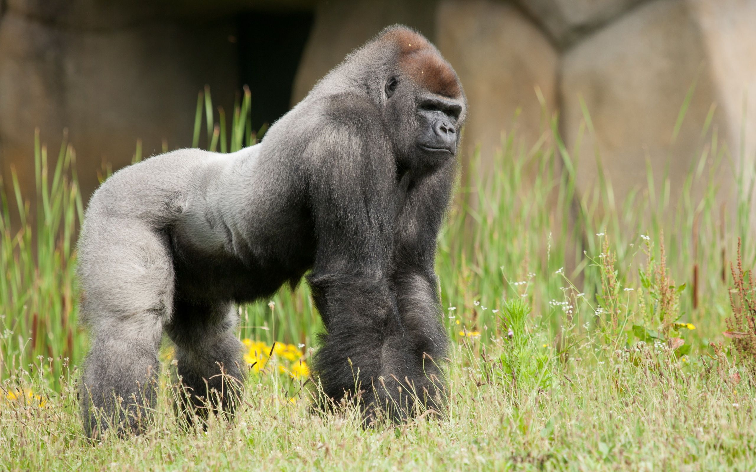 79 Gorilla Hd Wallpapers Backgrounds Wallpaper Abyss Gorille Animaux Savane