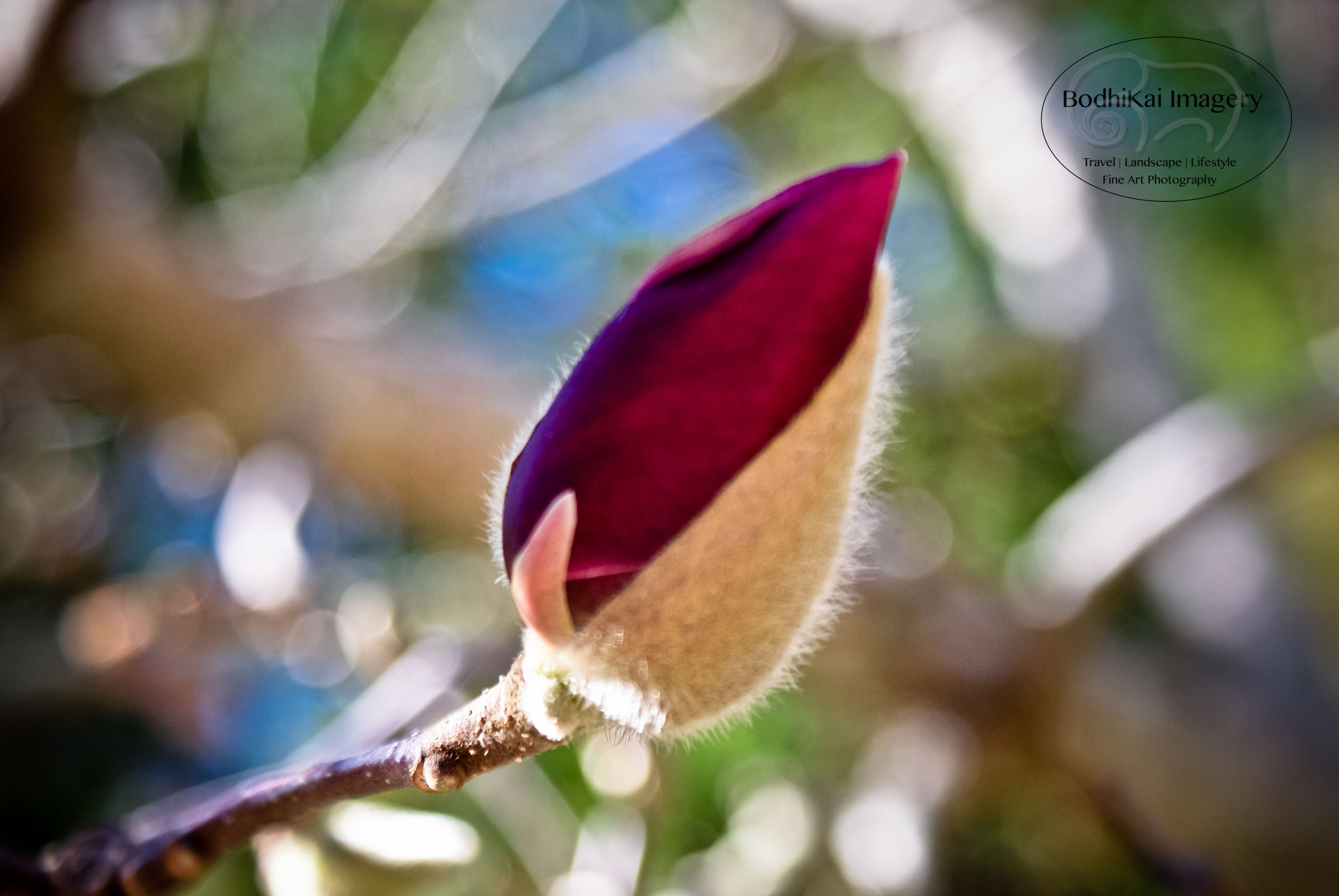 Sprouting Magnolia Nature Photographs Nature Photography Photography Gigs