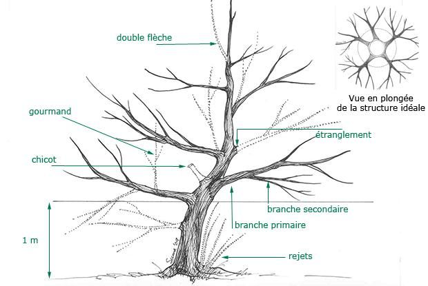Taille des jeunes arbres fruitiers jardin pinterest - Taille arbre fruitier ...