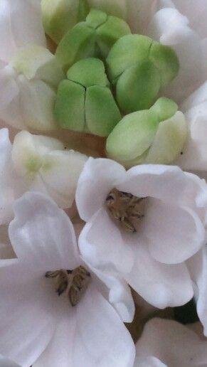 Hyacint #close up
