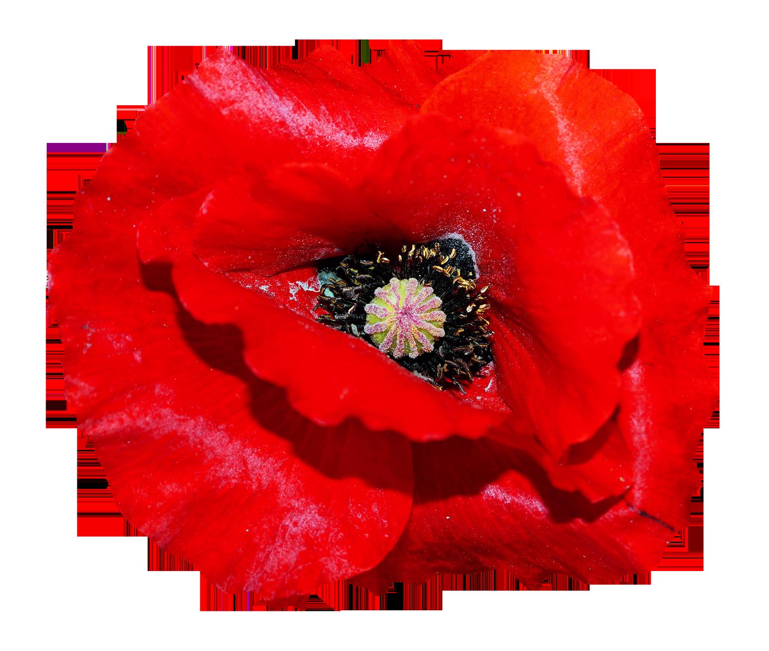 Poppy Flower Png Image Poppy Flower Flower Png Images Poppies