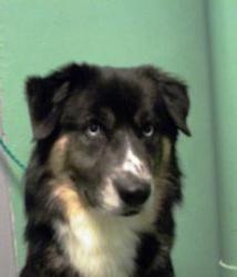 Zeus, a male Siberian Husky/Labrador Retriever available for adoption in Ashtabula, Ohio.