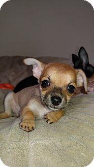 Arlington Wa Rat Terrier Chihuahua Mix Meet D J A Taco Puppy A Puppy For Adoption Http Www Adoptapet Com Pet 15968 With Images Rat Terrier Mix Pets Puppy Adoption