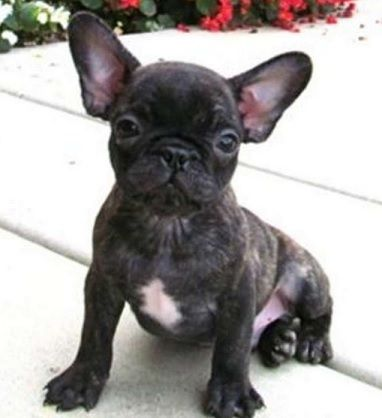 Pug And French Bulldog Frenchie Pug Pug Mixed Breeds Baby Pugs