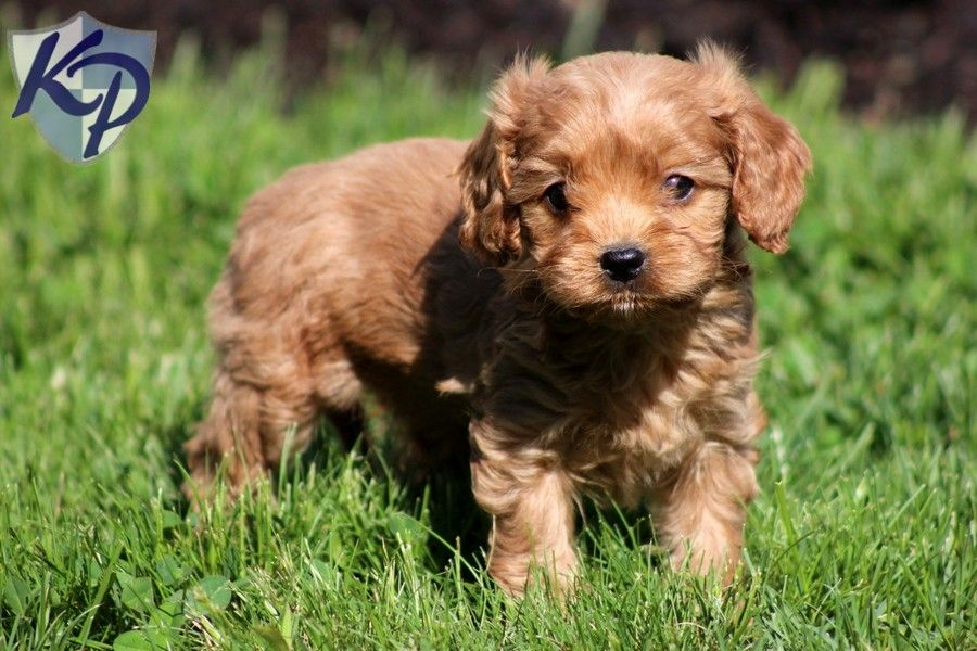 Duke Cavapoo Puppies for Sale in PA Keystone Puppies
