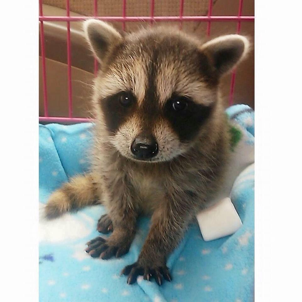 6ab51d7f3776240612401533631f5bdc baby raccoon set free today baby raccoon, raccoons and animal