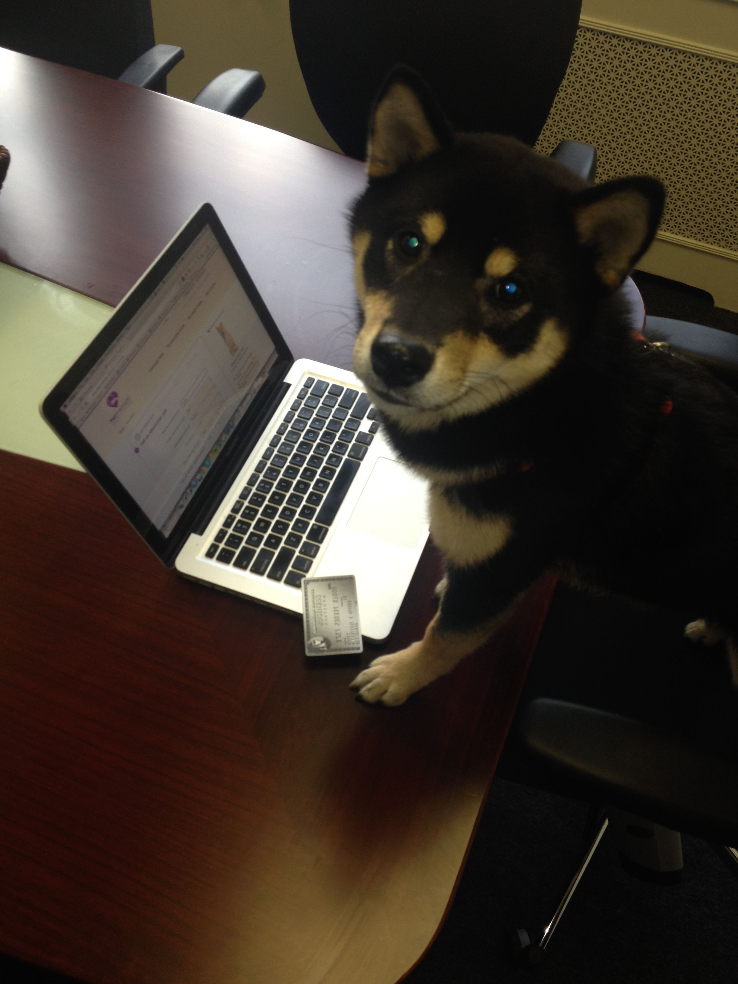 Do You Know Howie A Shiba Inu Puppy Filling Out Petpremium S Pet Insurance Form Shiba Inu Japanese Dogs Office Dog