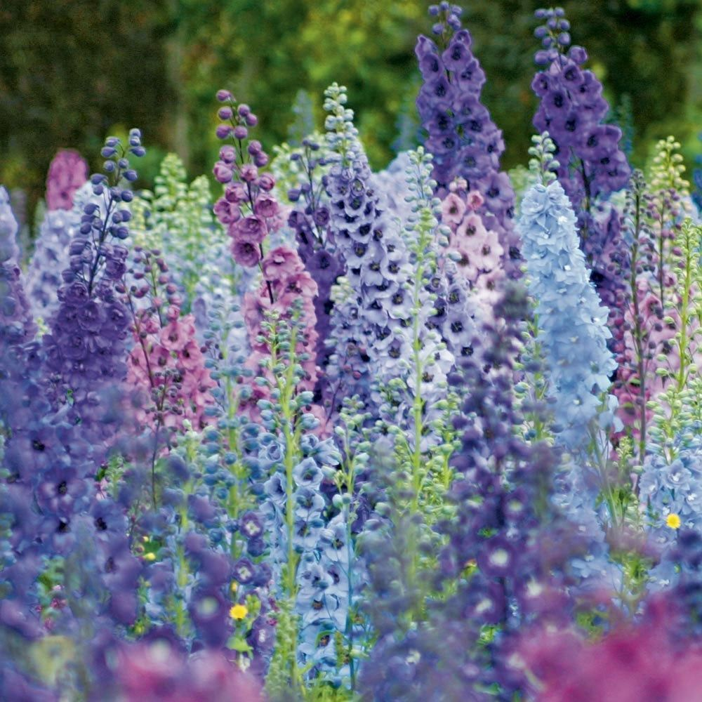 25+ GIANT DELPHINIUM MAGIC FOUNTAINS MIX FLOWER SEEDS MIX