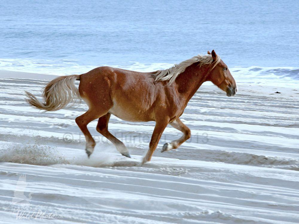 Wild Horses Corolla Beach Nc