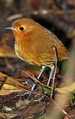 Ecuador is a brilliant country for antpittas! On our last remote Ecuador tour we saw 9 species! This is the Rufous Antpitta of the high elevation Andean forests (János Oláh)