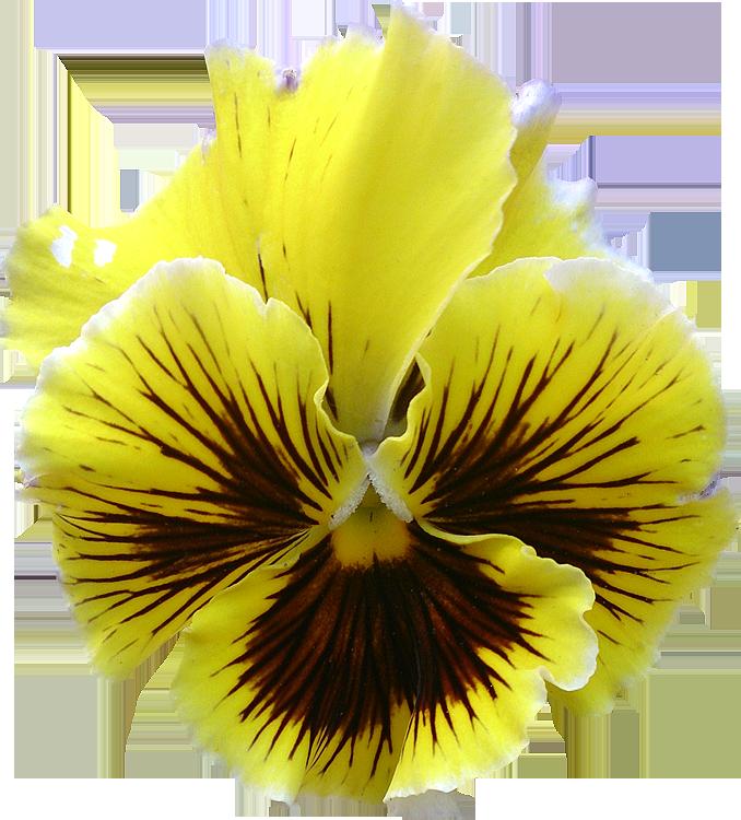 Préférence Fleurs détourées au format PNG Libres de Droits gratuites  IZ15