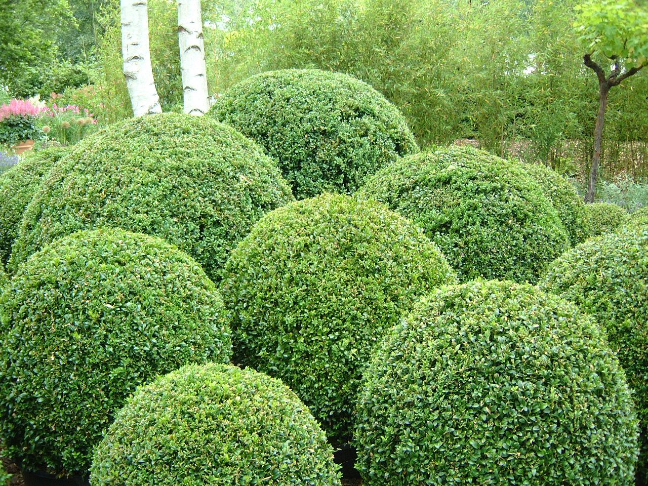 Topiary hedge maartent hedge hedges topiary green round for Landscaping ideas with plant names