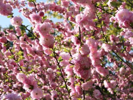 Flowering Trees Flowering Trees Pink Flowering Trees Fast Growing Flowers