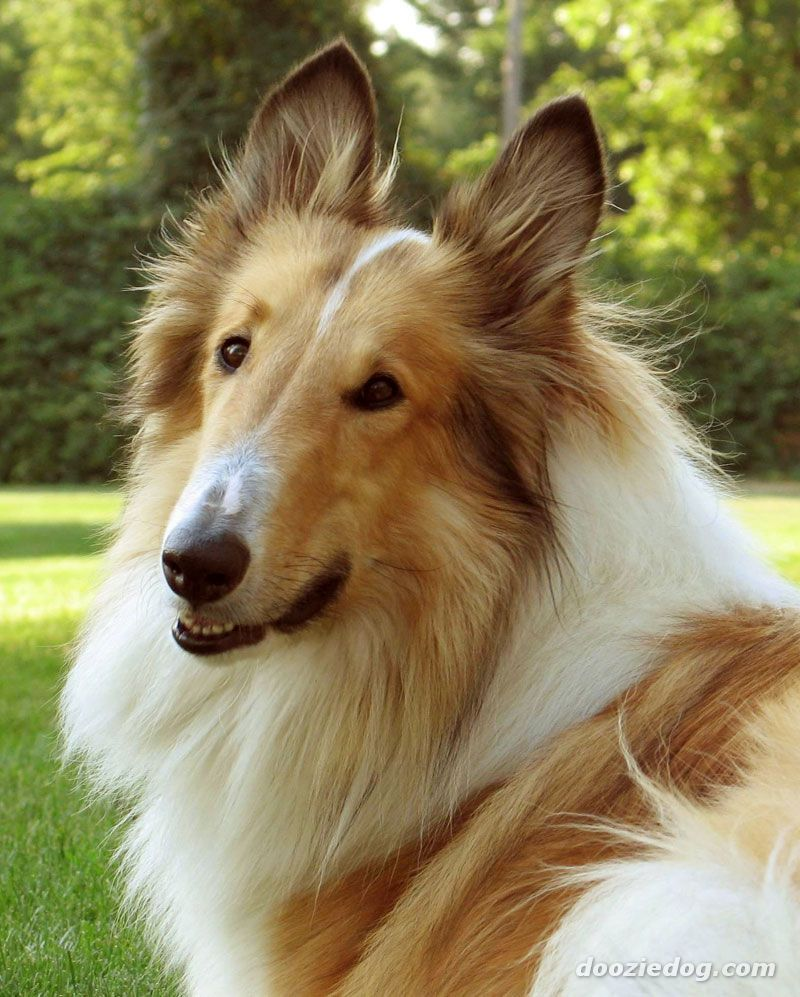 My Favorite Dog Is A Rough Collie His Name Is Koda He S My