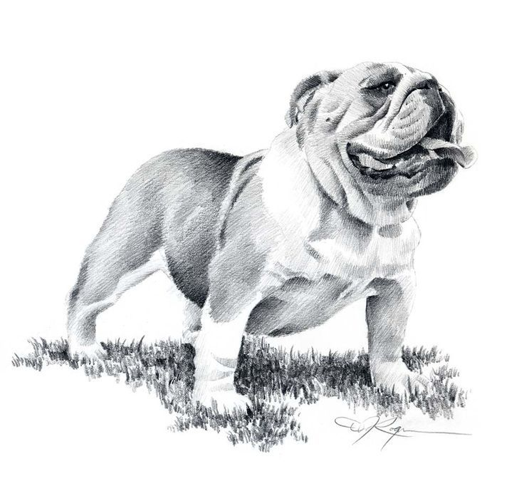 old english bulldog drawing - Google zoeken | OEB (Leavitt ...