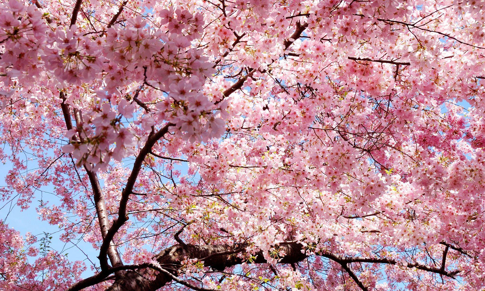 Pin Oleh Ria Catur Di Sakura Bunga Sakura Sakura Bunga