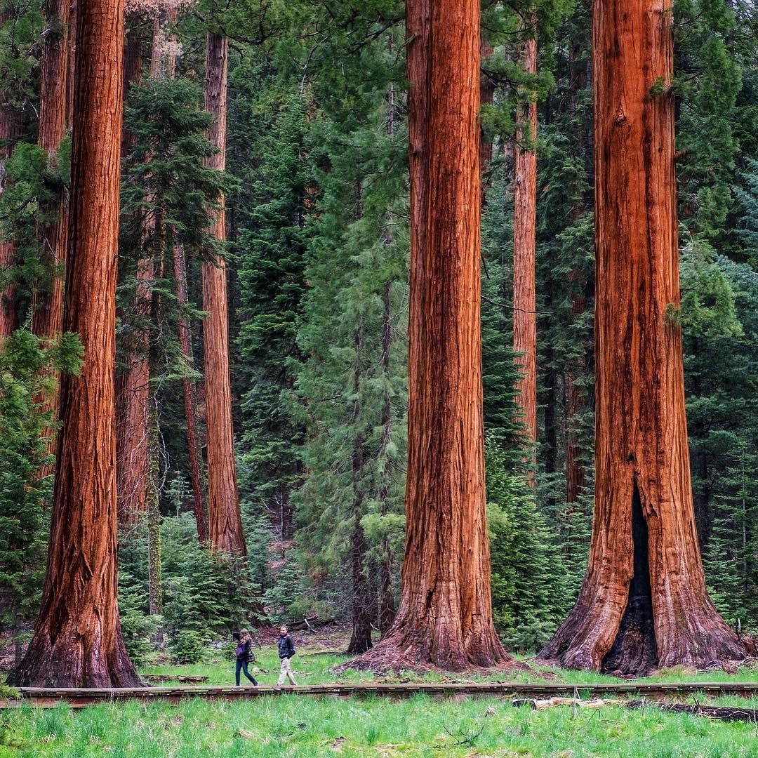 The Appropriately Named Big Trees Trail Is A Fantastic Place For A Stroll In Sequoia National Park Look Closely And Redwood Forest Big Basin Redwoods Redwood