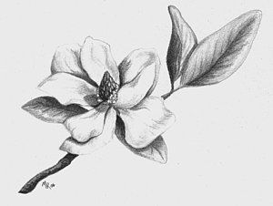 Southern Magnolia Flower Drawing Flower Tattoo Drawings Flower Sketch Images