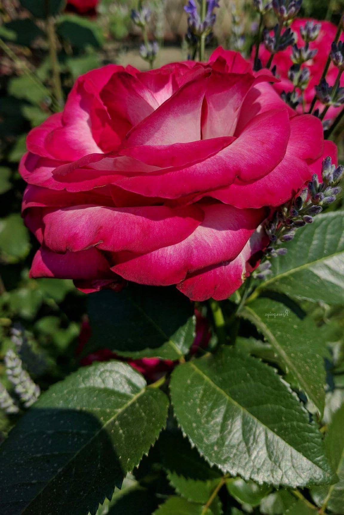 Pin Von Gloria Maria Auf Rosas Blumen Pflanzen Pflanzkubel