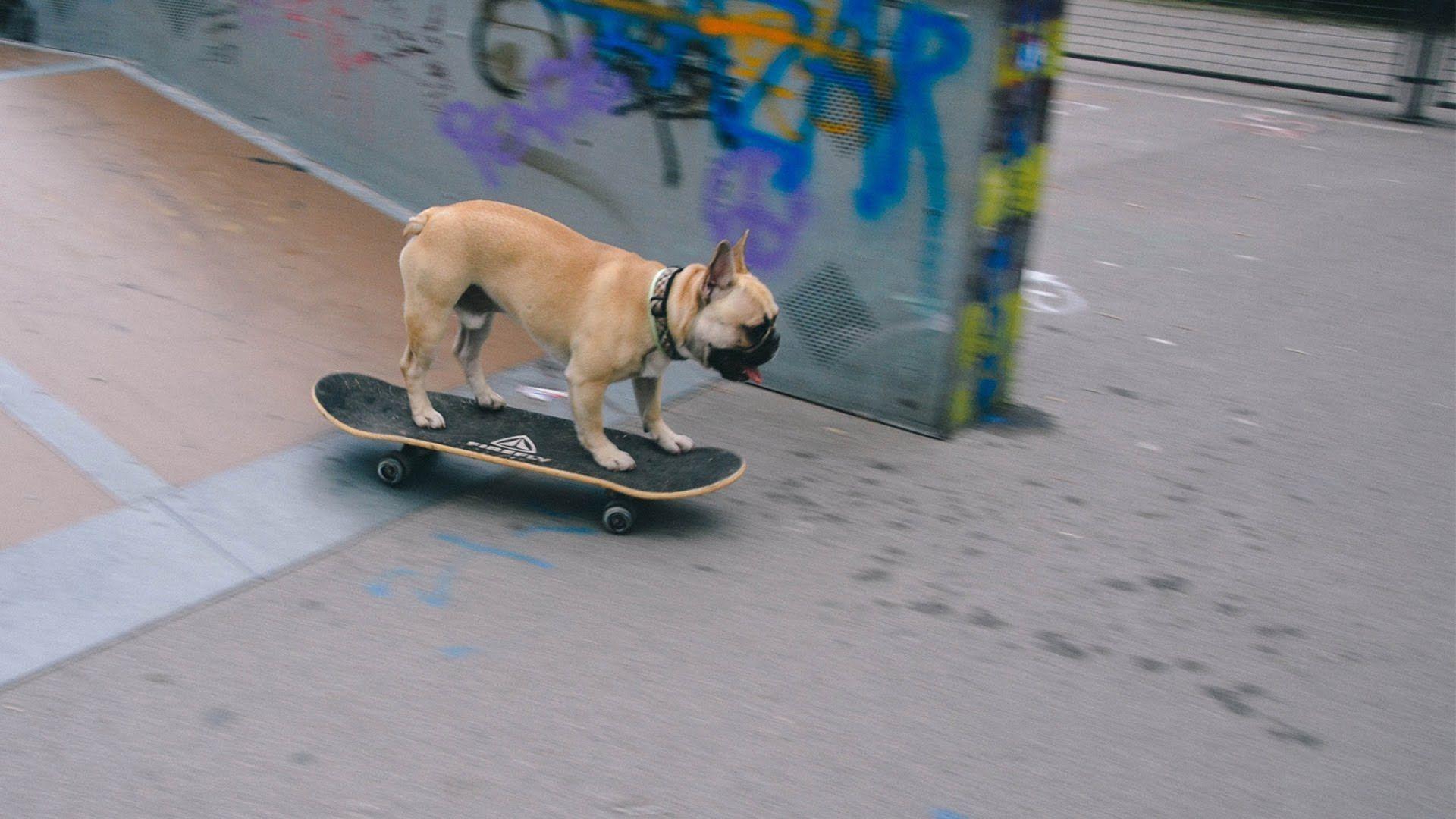 Hello Friends Bulldogs Pets Dogs Skateboarding Bullies Funny Fun Animals Frenchies Bulldog Skateboard French Bulldog Bulldog