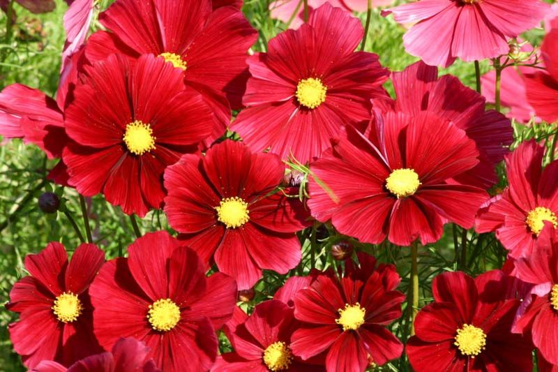 Noted For Its Unique Color Cosmos Bipinnatus Rubenza Is A Dwarf Bushy Half Hardy Annual Boasting Single Dark Ruby In 2020 Flower Seeds Cosmos Flowers Flower Pots