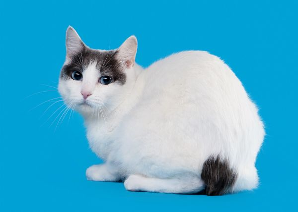 5c766931f1 Japanese Bobtail......5 Purebred Cat Breeds I d Have a Hard Time Saying No  To - Catster