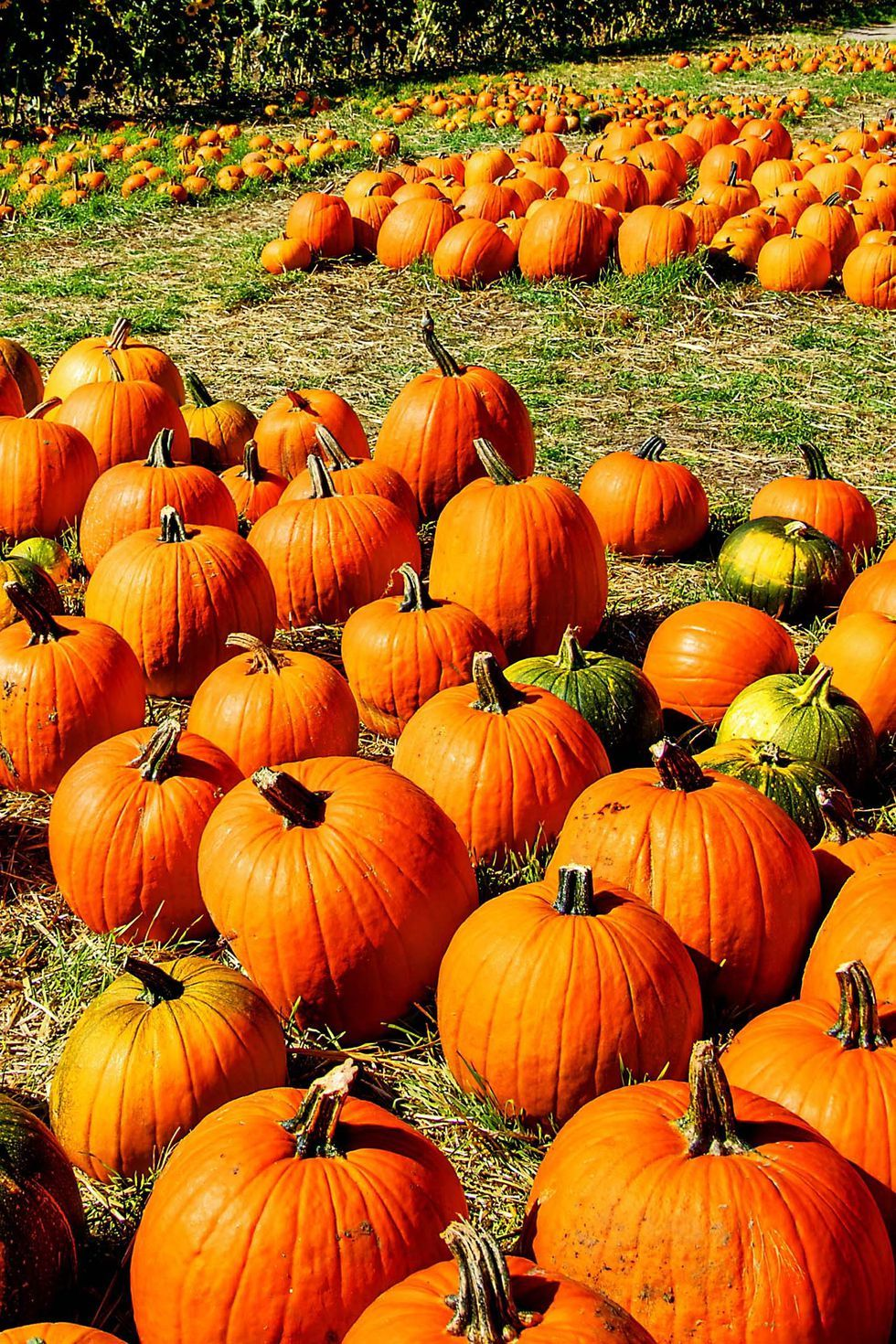 38 Best Pumpkin Farms Near You to Visit With Your Family This Fall #pumpkinpatch