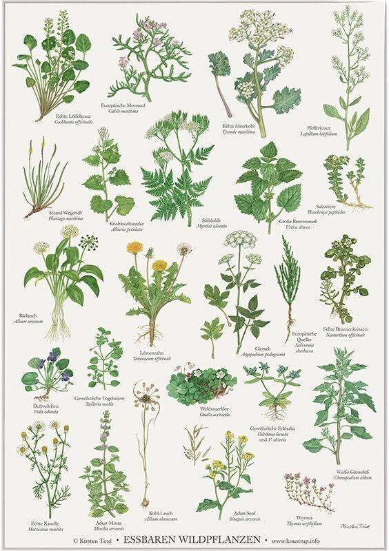 Essbare Wildpflanzen Poster Fur Deko Home Im Kinderpostershop Bestellen Pflanzen Pflanzen Kunst Essbare Pflanzen
