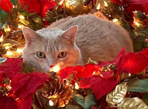 holiday safety tips for cat lovers cat cat lovers and animal - Are Christmas Trees Poisonous To Cats