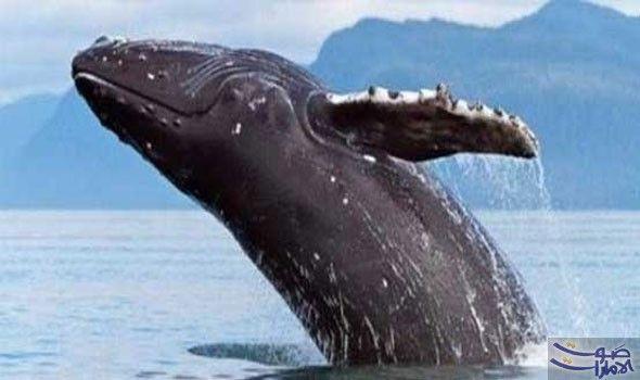 العلماء يعجزون عن تفسير سر الحيتان الحدباء…: العلماء ما يزالون في حيرة كبيرة أمام لغز الحيتان الحدباء، التي تخرج عن طريقها فقط لإنقاذ…