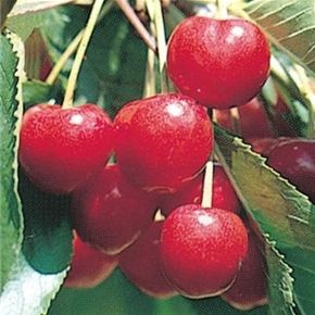 Sweetheart Cherry Tree 4 5 Feet Growing Cherry Trees Cherry Tree Dwarf Fruit Trees