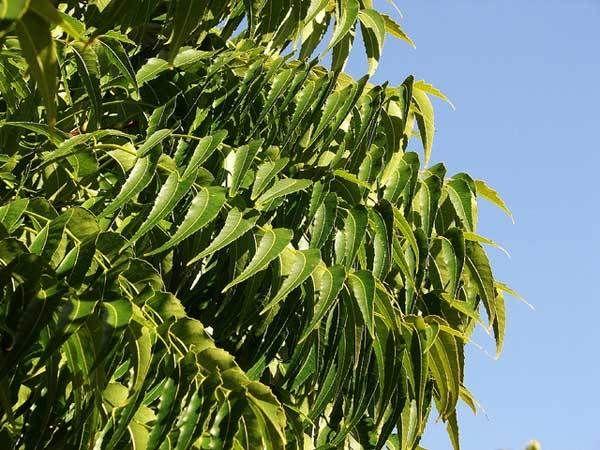 Margosa or Neem leaves: