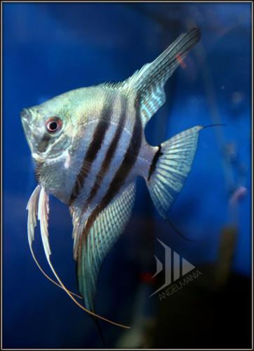 Philippine Blue Zebra Angelfish Angel Fish Betta Fish Fish
