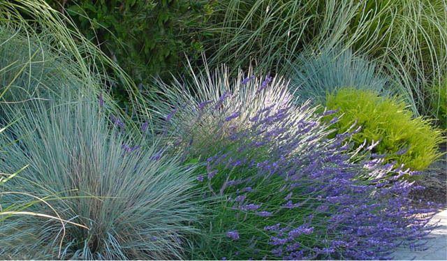 Helictotrichon Sempervirens Blue Oat Gr Drought Tolerant Plant Ornamental Low Maintenance