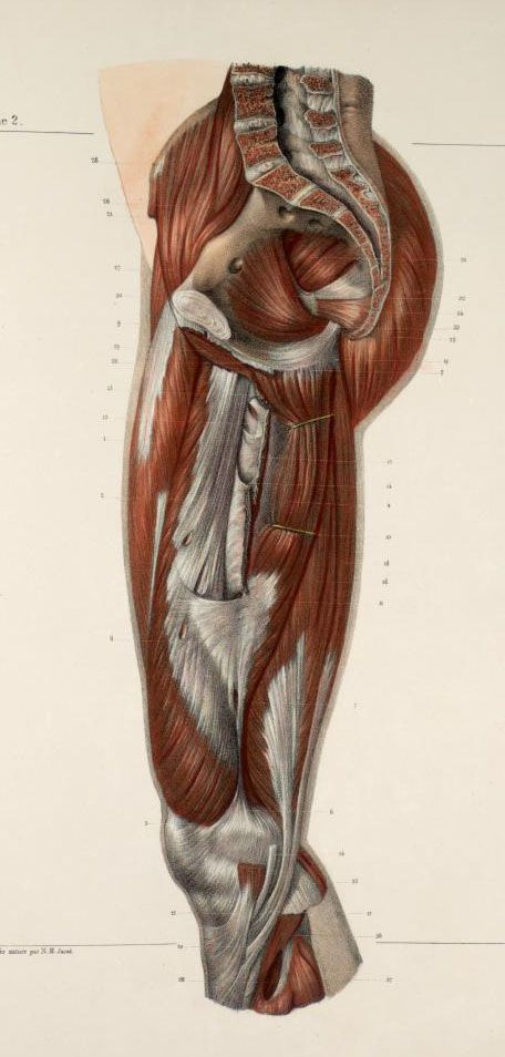 Muscles+of+the+pelvis%2C+buttocks+and+thigh2.jpg (456×954) | Human ...