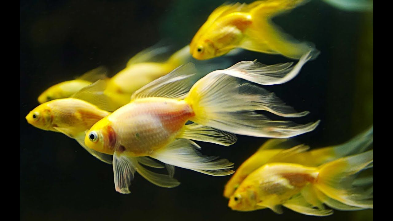 Most Beautiful Fish Around The World Color Full Fish In The World Colorful Fish Fish Wallpaper Fish Pet