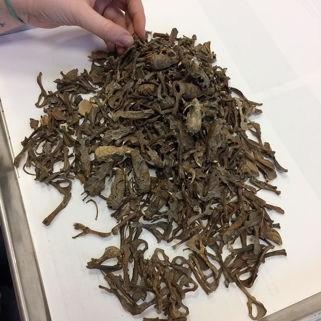 There were...a few rats in the cistern we excavated at Old North.  This is from one 10-cm thick layer and about half of the rats recovered from the cistern!