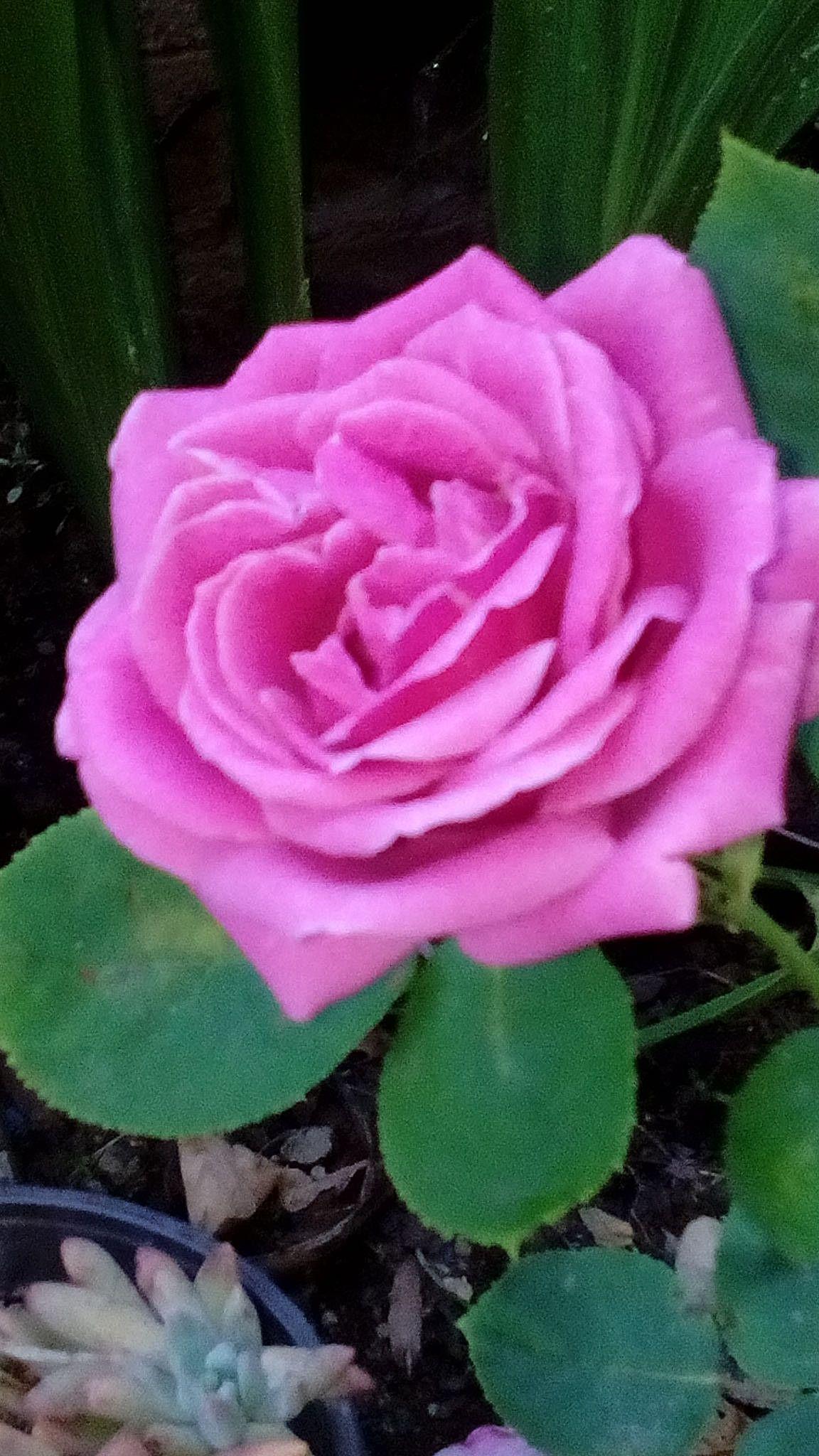 La Prima Rosa Di Una Pianta Acquistata Ben Due Anni Fa Fiori