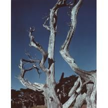 1930/1949 Print POINT LOBOS California Cypress Landscape