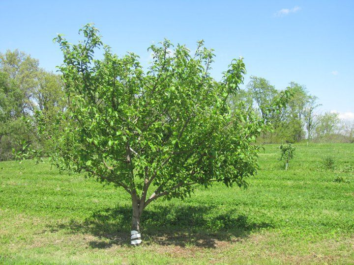 Stages of Apple Tree Growth What to Expect After Planting