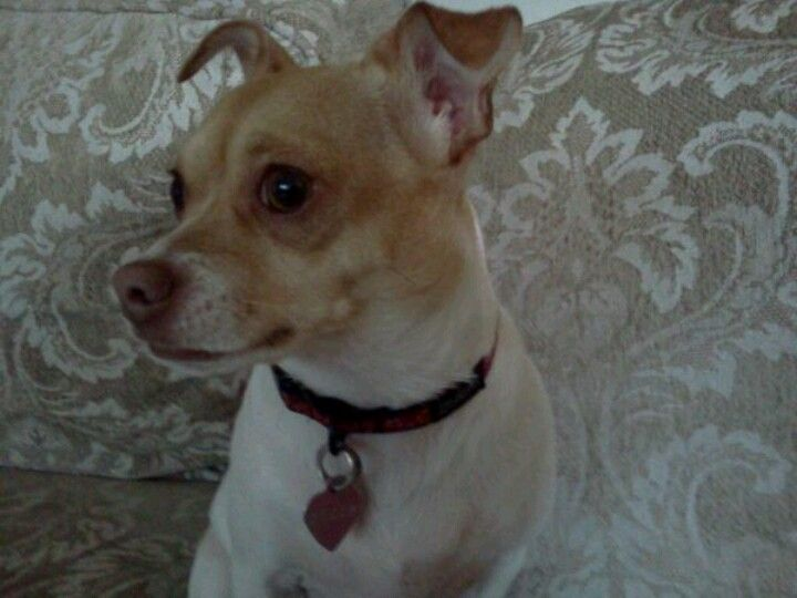 Please Repin Someone May Be This Dogs Soul Mate Bella 3 Yr Old Chihuahua Dog Puppy For Adoption In Seattle Washin Puppy Adoption Losing A Pet Chihuahua Dogs