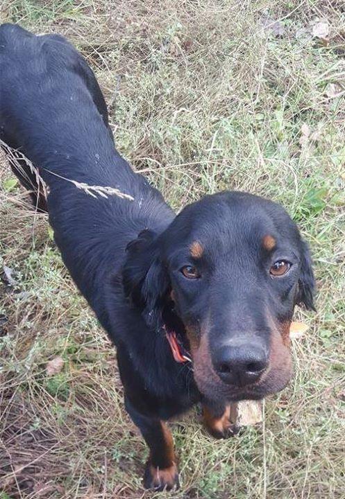 Lost Dog Virginia Gordon Setter Male Date Lost 0531