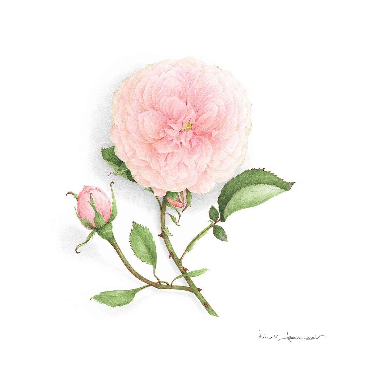 Aquarelle Vincent Jeannerot Dessin Botanique Peintures Florales